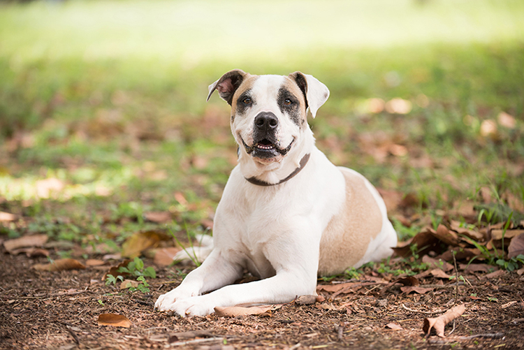 american bulldog for adoption